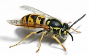 How to Get Rid of Wasps - Best Home Remedies
